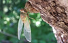 A new Cicada beginning to dry his wings in the afternoon sun, the last day of August, 2008.